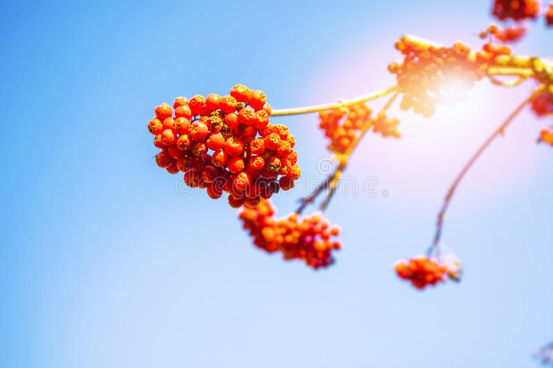 Rowan berries, Sorbus aucuparia, tree mountain ash. Autumn landscape with bright colorful foliage. Indian summer royalty free stock photography