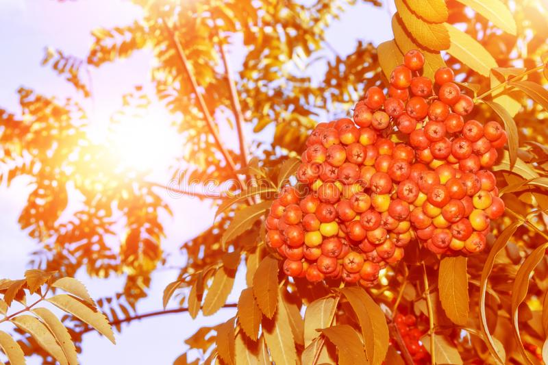 Rowan berries, Sorbus aucuparia, tree mountain ash. Autumn landscape with bright colorful foliage. Indian summer stock images
