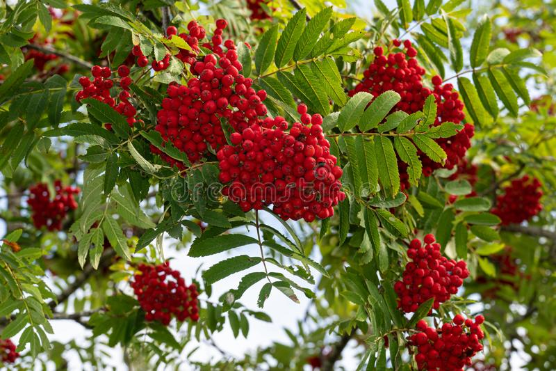 A rowan berries on a tree royalty free stock photos