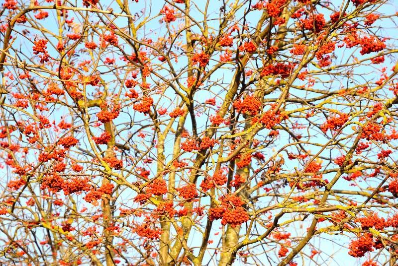 Rowan berries on the tree. Bright rowan berries on the tree, selective focus royalty free stock photography