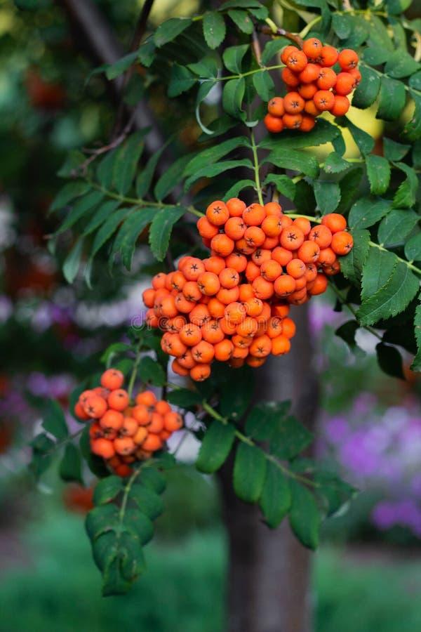 Rowan berries on a tree. Clusters of rowan berries, autumn, botanical, botany, bright, close-up, flora, foliage, fresh, green, healthy, natural, nature, orange royalty free stock photos