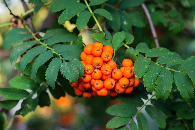 Rowan berries on a tree. Clusters of rowan berries, autumn, botanical, botany, bright, close-up, flora, foliage, fresh, green, healthy, natural, nature, orange stock image