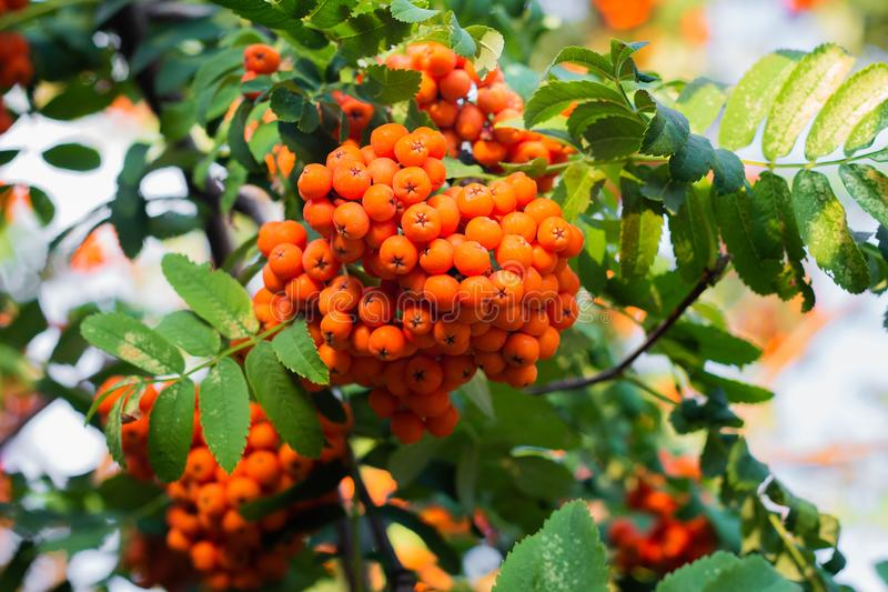 Rowan berries on a tree. Clusters of rowan berries, autumn, botanical, botany, bright, close-up, flora, foliage, fresh, green, healthy, natural, nature, orange stock photography