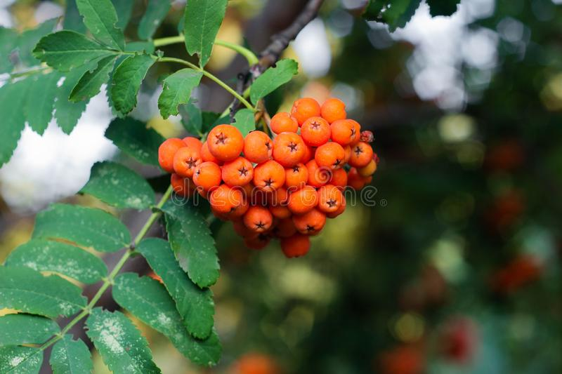 Rowan berries on a tree. Clusters of rowan berries, autumn, botanical, botany, bright, close-up, flora, foliage, fresh, green, healthy, natural, nature, orange royalty free stock images