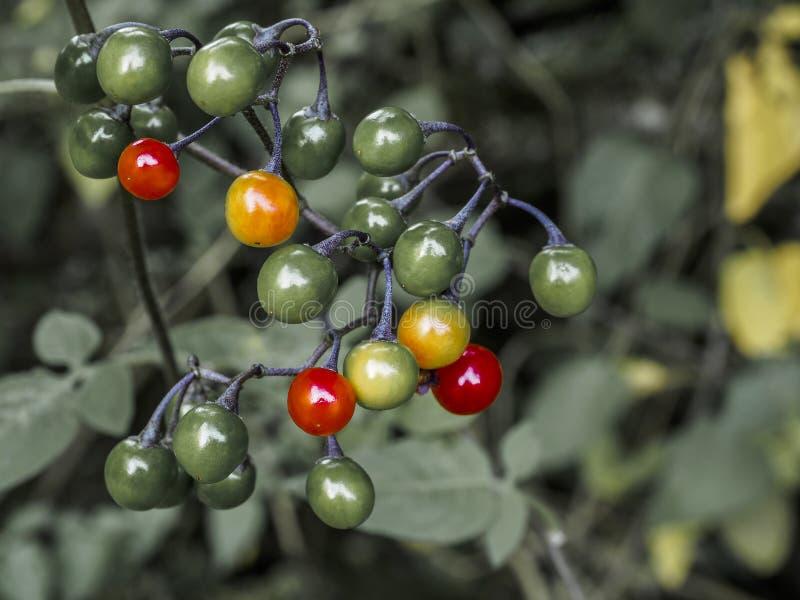 Rowan Berries fotografia de stock royalty free
