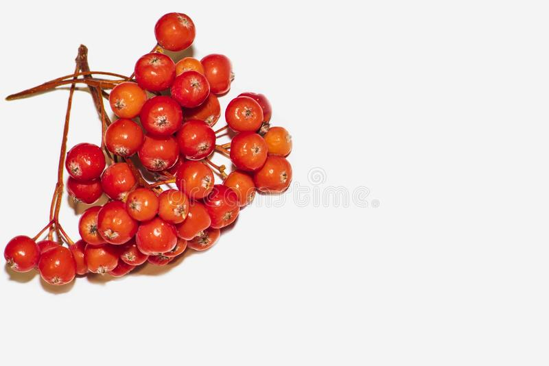 Rowan berries on a white background. Rowan berries close up. Background from rowan berries.red cluster of rowan berries with royalty free stock images
