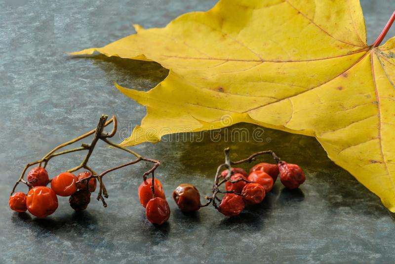 Rowan berries with yellow maple leaf royalty free stock photography