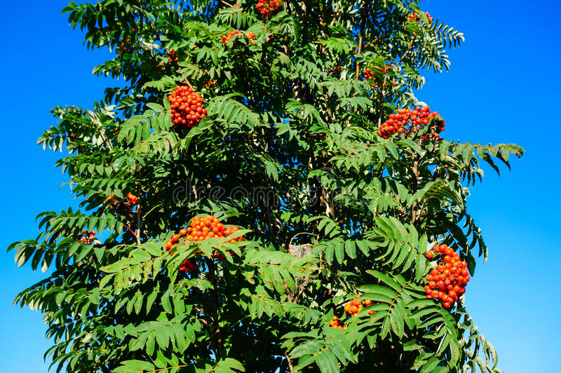 Rowan berry with blu sky. Red rowan berry with blue sky in backgound. Sorbus aucuparia is commonly known as rowan, mountain-ash, quickbeam, or rowan-berry stock image