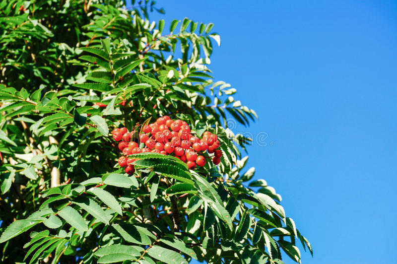 Rowan berry with blu sky. Red rowan berry with blue sky in backgound. Sorbus aucuparia is commonly known as rowan, mountain-ash, quickbeam, or rowan-berry royalty free stock photography