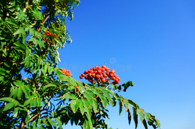 Rowan berry with blu sky. Red rowan berry with blue sky in backgound. Sorbus aucuparia is commonly known as rowan, mountain-ash, quickbeam, or rowan-berry royalty free stock image
