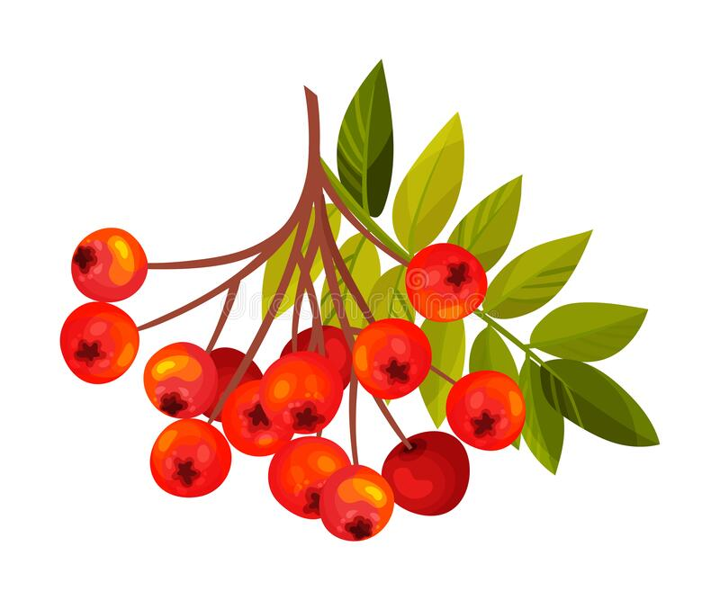 Rowan Berry Cluster Hanging on Tree Branch with Pinnate Leaves Vector Illustration. Red Ashberry Pome Fruit as Edible Plant royalty free illustration