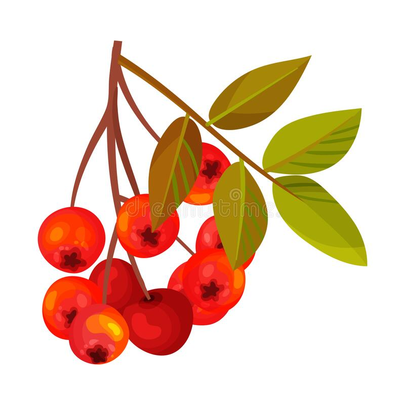 Rowan Berry Cluster Hanging on Tree Branch with Pinnate Leaves Vector Illustration. Red Ashberry Pome Fruit as Edible Plant vector illustration