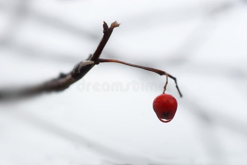 Rowan berry with drop of water on foggy rainy autumn day stock photos