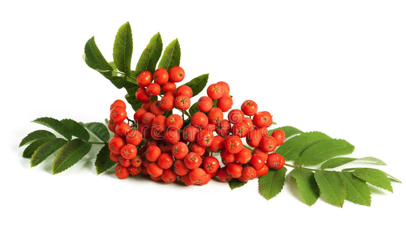 Rowan berry (mountain ash). Rowan berry (mountain ash, Sorbus aucuparia) isolated on a white background royalty free stock photography