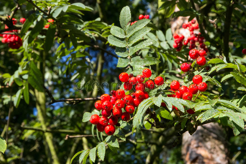 Rowan berry, mountain ash. Sorbus aucuparia, commonly called rowan and mountain-ash. Red berries royalty free stock photos