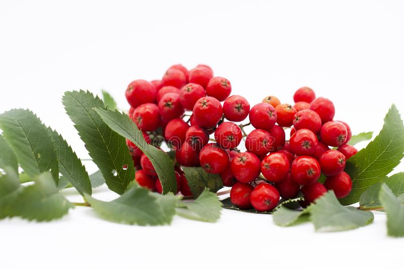 Rowan berry ,mountain ash, Sorbus aucuparia, isolated on a white background. Brush the red Rowan with green leaves royalty free stock photos
