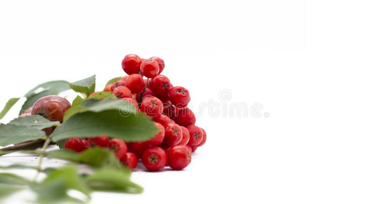 Rowan berry ,mountain ash, Sorbus aucuparia, isolated on a white background. Brush the red Rowan with green leaves royalty free stock images