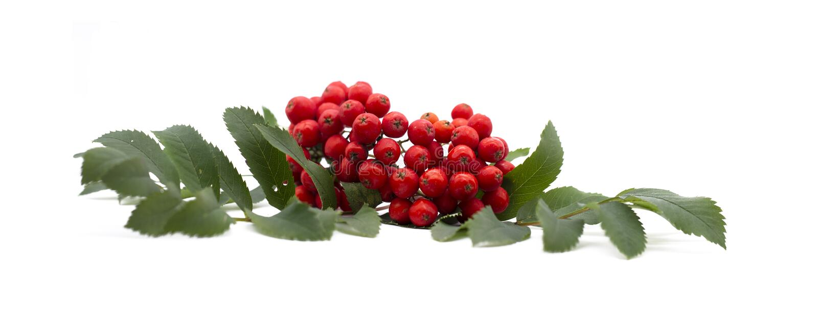Rowan berry ,mountain ash, Sorbus aucuparia, isolated on a white background. Brush the red Rowan with green leaves royalty free stock photography