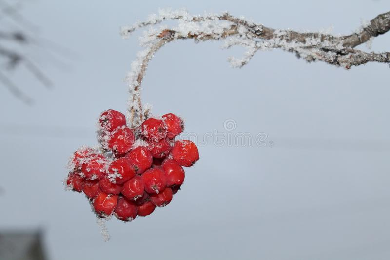 Rowan branch against the blue sky. Red berries of mountain ash, blue sky, winter, first snow royalty free stock photography