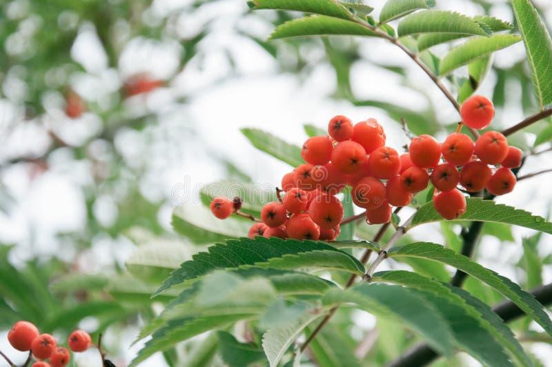 Rowan branch, fresh berries in autumn. Background with rowan berries stock images