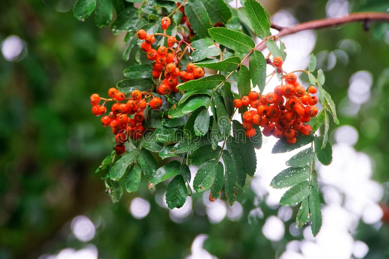 Rowan branch with green leaves and red berries in the autumn rain. Seasons, climate, weather and harvest. Close-up. Daylight stock photo