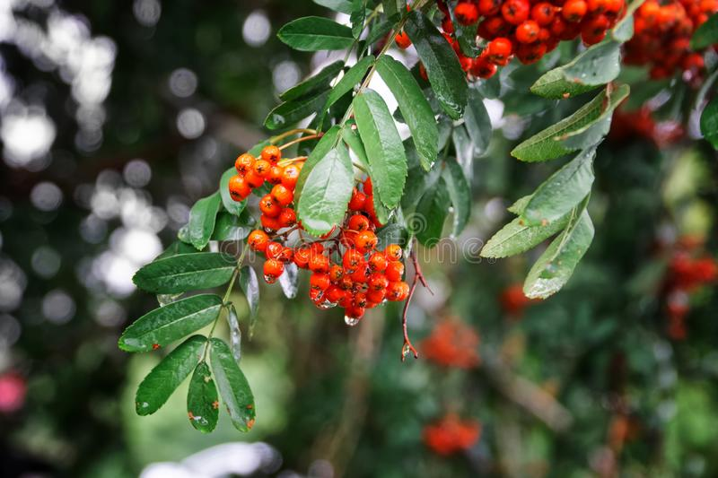 Rowan branch with red berries and green leaves in the autumn rain. Weather, climate and harvesting. Close-up. Daylight stock photography