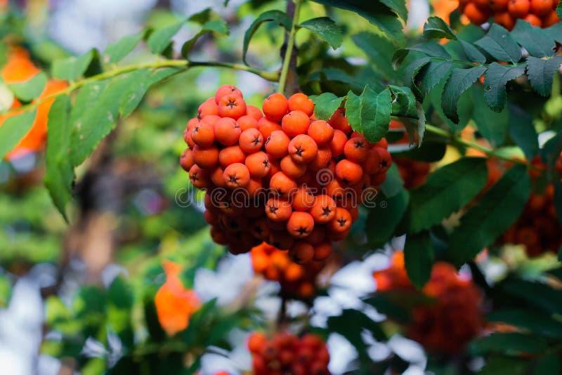 Rowan on a branch. Red rowan berries on rowan tree. Sorbus aucuparia, wild, ash, autumn, background, beautiful, beauty, berry, botanical, botany, bright, bunch stock photo
