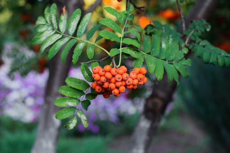 Rowan on a branch. Red rowan berries on rowan tree. Sorbus aucuparia, wild, ash, autumn, background, beautiful, beauty, berry, botanical, botany, bright, bunch stock photos