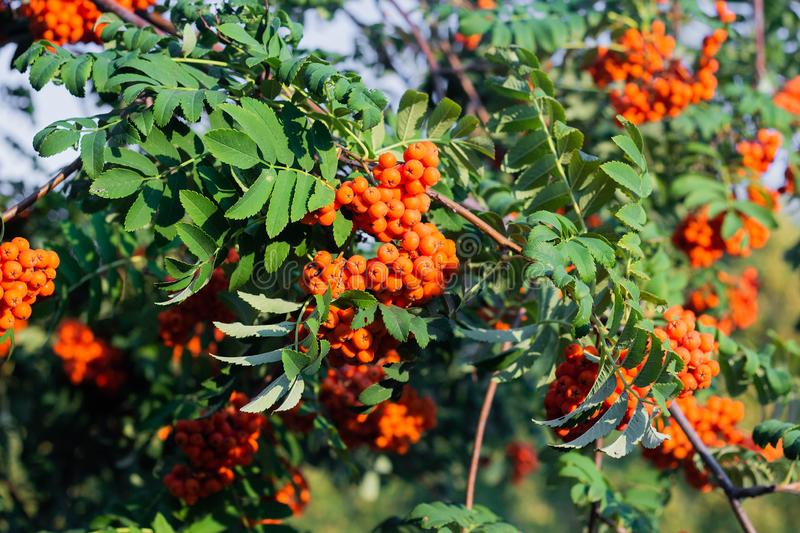 Rowan on a branch. Red rowan berries on rowan tree. Sorbus aucuparia, wild, ash, autumn, background, beautiful, beauty, berry, botanical, botany, bright, bunch stock images