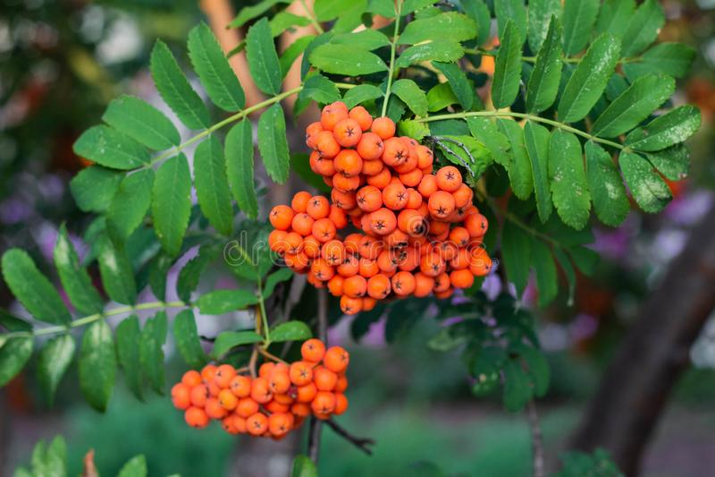 Rowan on a branch. Red rowan berries on rowan tree. Sorbus aucuparia, wild, ash, autumn, background, beautiful, beauty, berry, botanical, botany, bright, bunch stock image