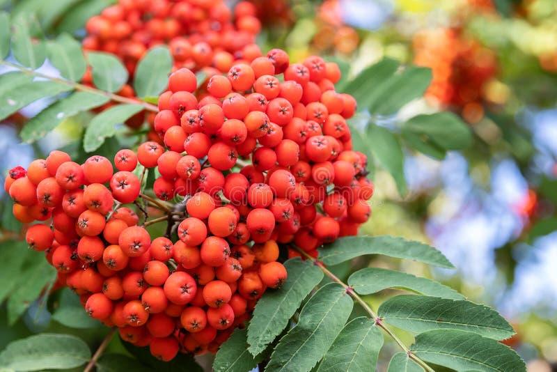 Rowan on a branch. Red rowan. Rowan berries on rowan tree. Autumn nature royalty free stock photo