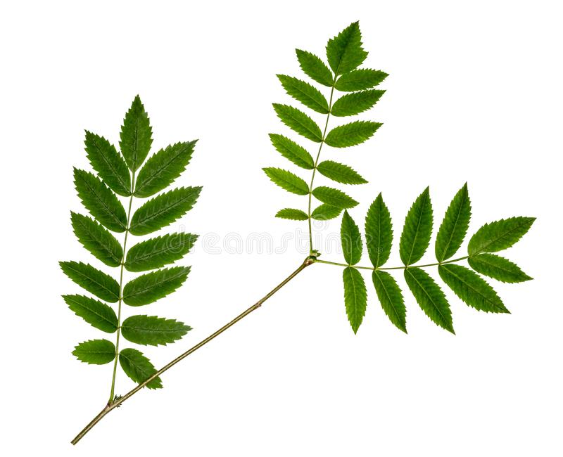 Rowan branch on white background. Three green leaves of mountain ash. Isolated branch of mountain ash royalty free stock photos