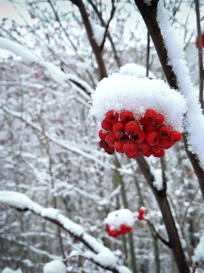 Rowan branches with red berries covered with white frost, snow. stock photography