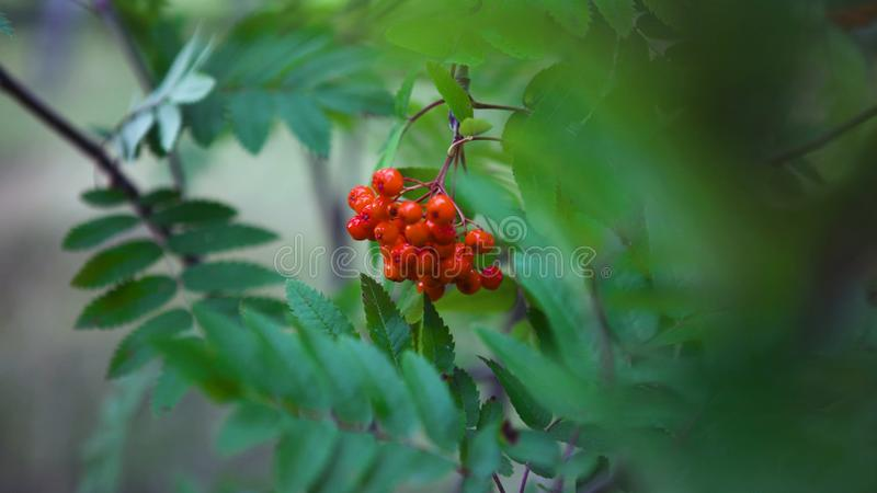 Rowan branches with red berries swaying in the wind, close-up. Art. Bright rowan berries with green foliage of a tree royalty free stock photography