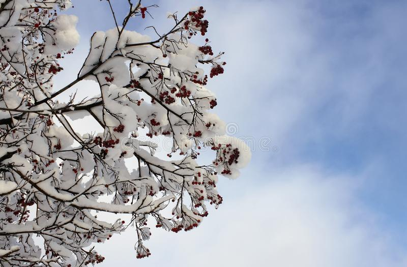 Rowan branches with red berries under the snow in winter against the blue sky stock photography