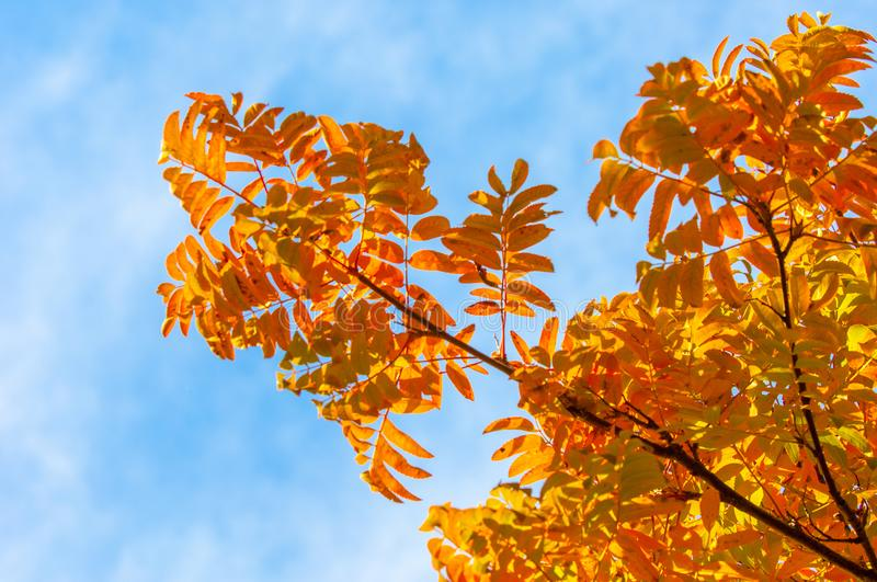 Rowan bright brightly colored, bright leaves. desktop wallpaper. A mountain ash, in particular the European Sorbus aucuparia stock photo
