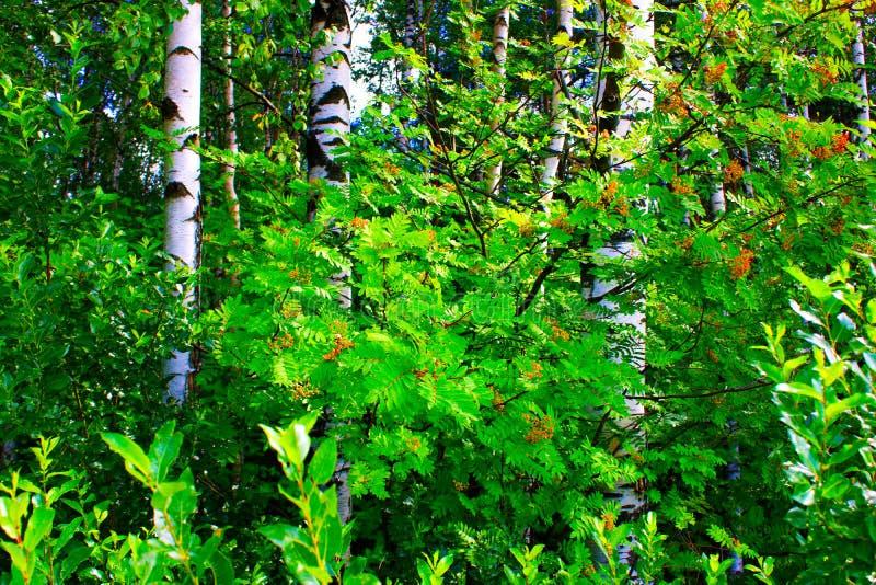 Rowan Bush unter Birken im Wald lizenzfreie stockfotos