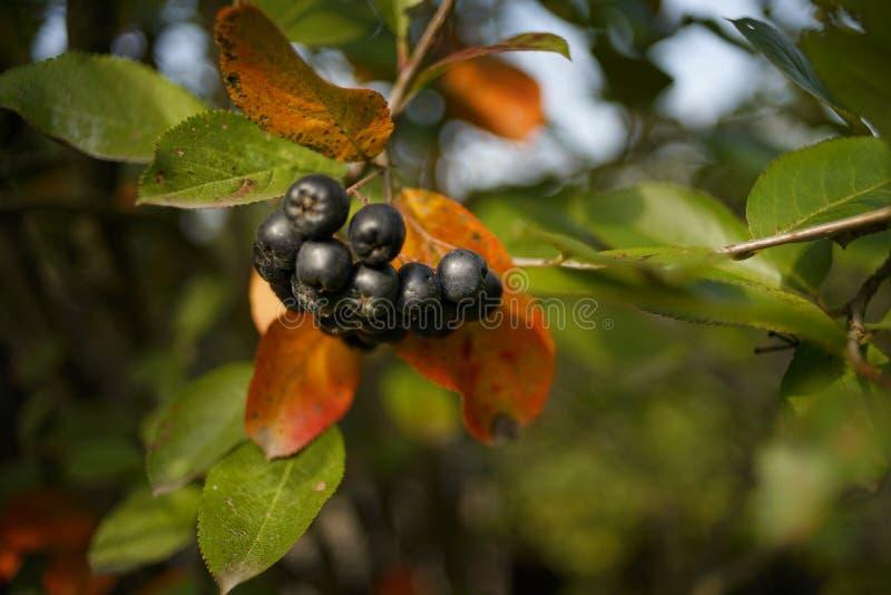 Rowan black berries close-up outdoor garden bokeh background. Rowan close-up autumn day bokeh background outdoor black berries stock photo