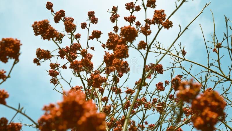 rowan drzewo fotografia royalty free
