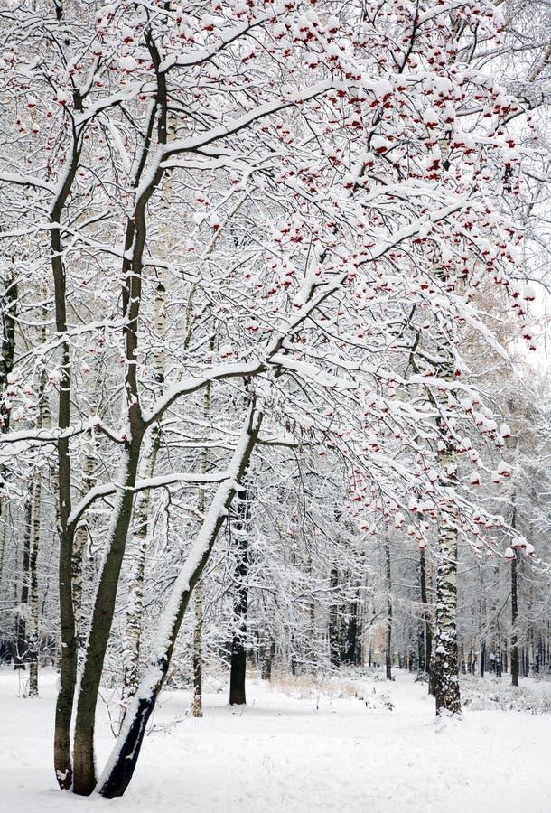 Rowan drzewo, halny popiół z czerwonymi jagodami w śniegu, zdjęcia stock
