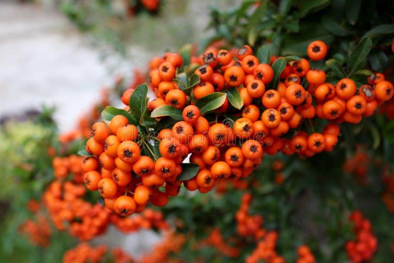 Rowan jagod zwarty pomarańczowy grono zdjęcia stock
