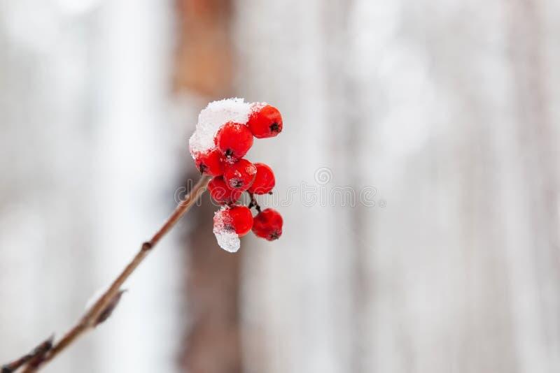 Rowan jagody zakrywać z śniegiem obrazy royalty free