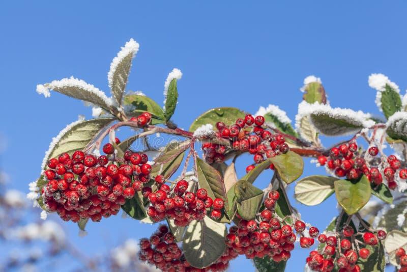 Rowan jagody zakrywać z śniegiem w zimie zdjęcia royalty free