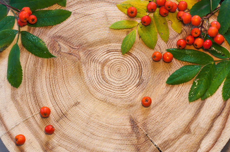The rowan leaves and berries on round saw cut the larch. royalty free stock photos