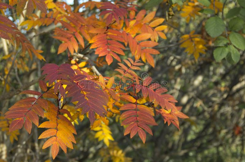 The rowan leaves and berries royalty free stock images