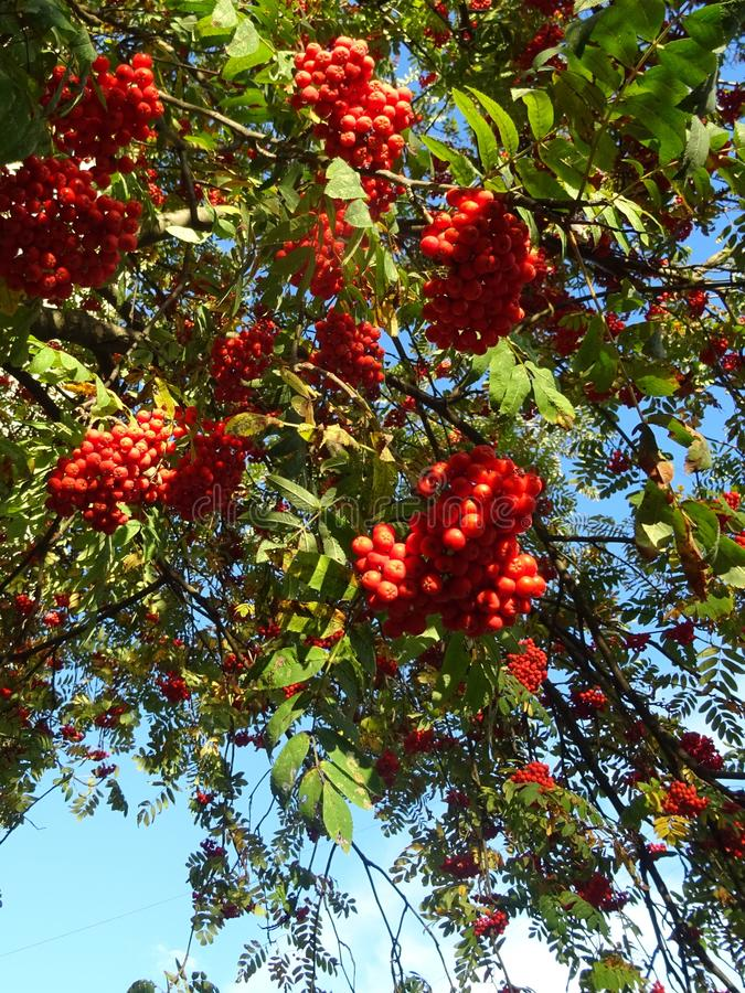 Clusters of red Rowan trees against a soft blue sky. Rowan is a lovely tree with an openwork crown, patterned foliage and scarlet berries.A simple-looking tree stock photos