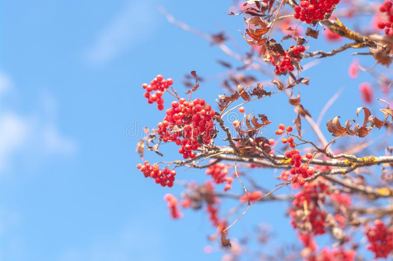 Rowan mountain ash of autumn with bright red berries against the blue sky background.  royalty free stock photography
