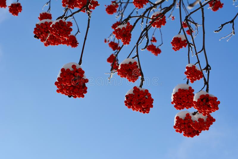 Rowan mountain ash berries on branches against the blue sky in winter.  royalty free stock photos