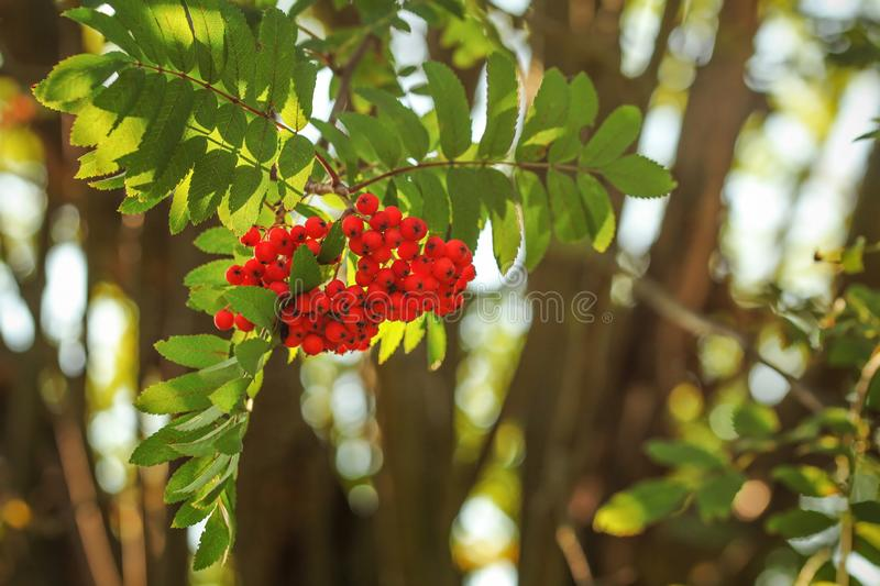 Rowan / mountain-ash berry Sorbus aucuparia bunch growing on t. Ree branch, leaves lit by back light sun royalty free stock images