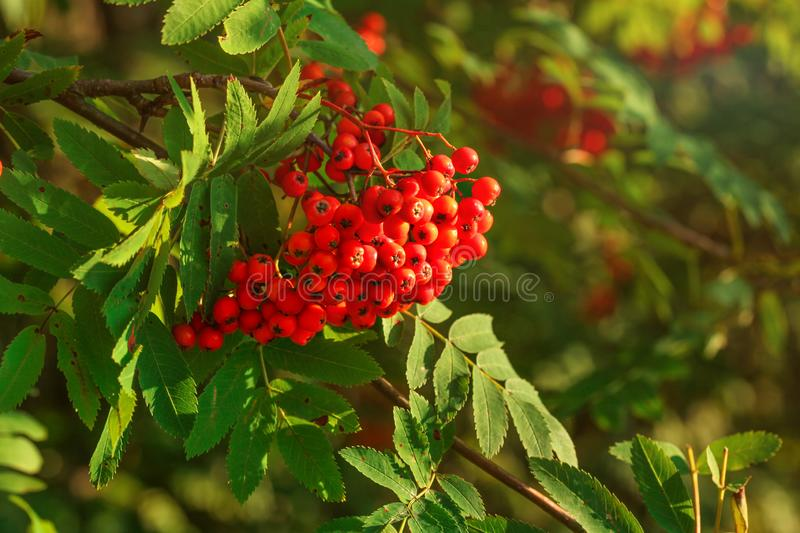 Rowan / mountain-ash berry Sorbus aucuparia bunch growing on t. Ree branch stock photo